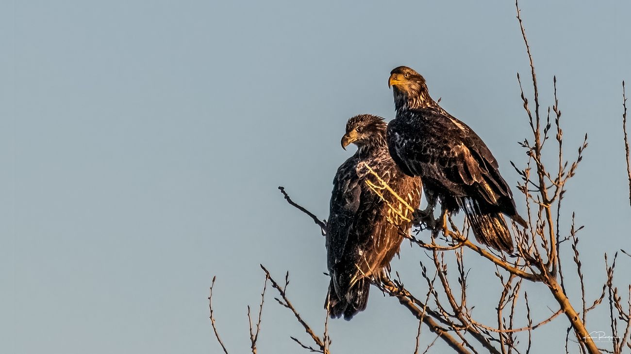 Eagle Youngsters