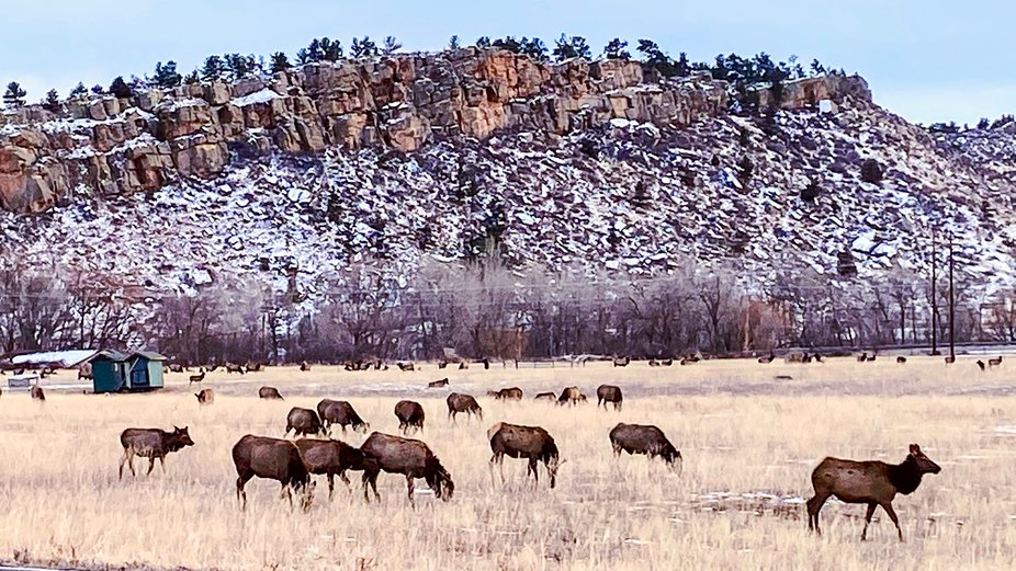 A large elk herd grazing near the Devil's backbone in Loveland, Colorado.