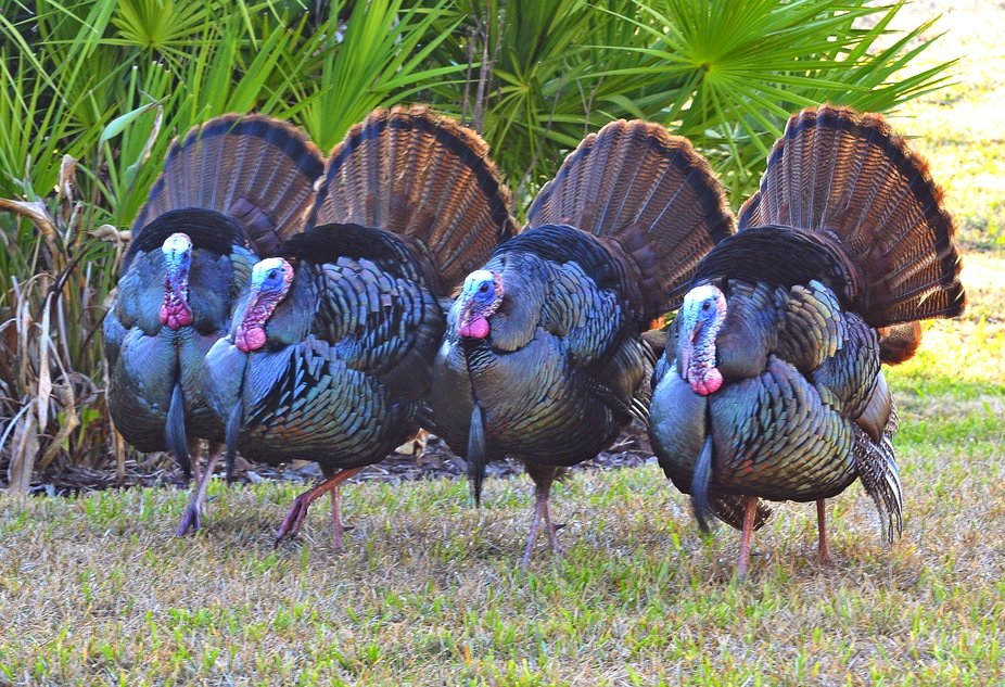 These four handsome wild turkeys were displaying their feathers for the ladies as they walked tog...