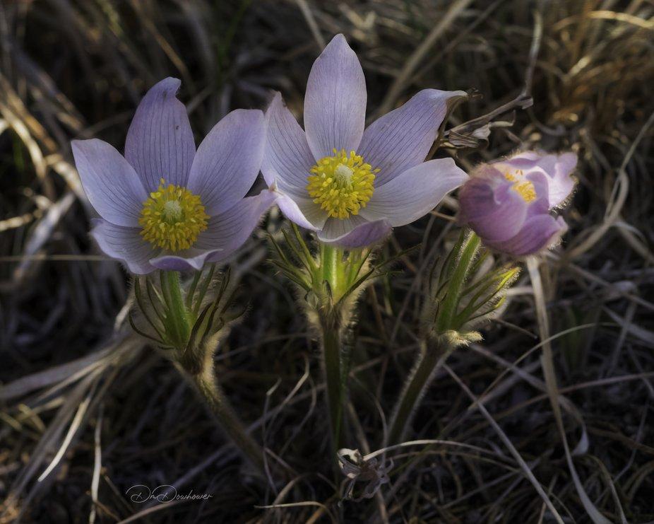 Pasque flowers, taken last spring
