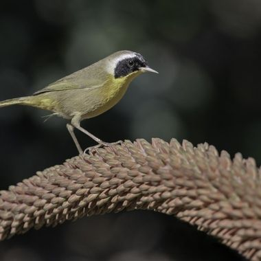 Common Yellowthroat male DSC00329