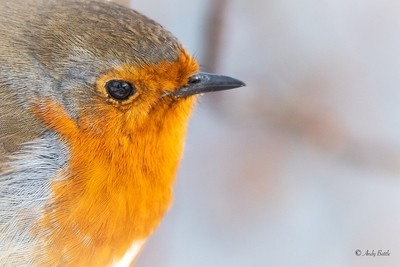 Close-up of a Robin red breast
