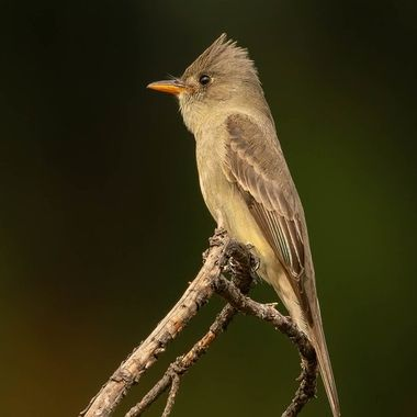 Greater Pewee DSC07401