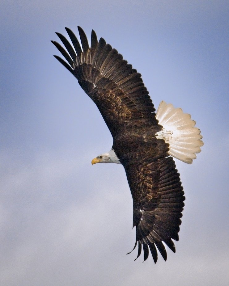 A Bald Eagle soaring above me at a large gathering of eagles that surrounded me in an incredible moment.