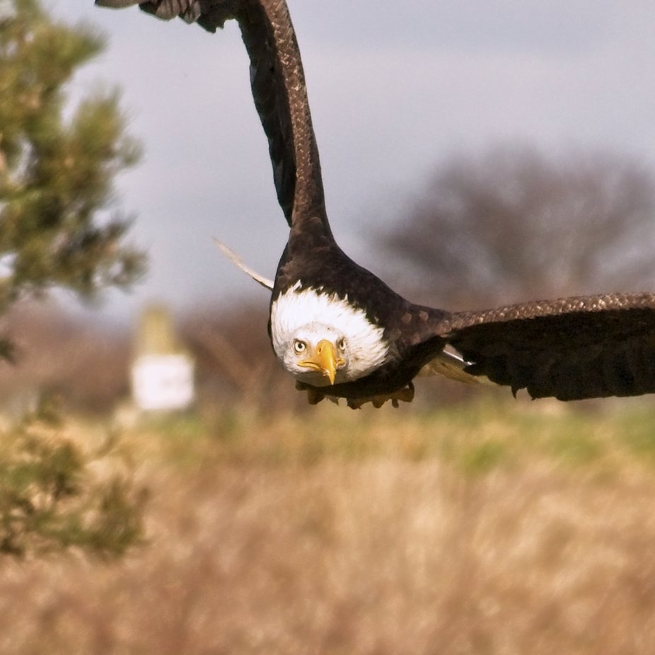 A Bald Eagle flying out of a tree straight at me before soaring up and away.