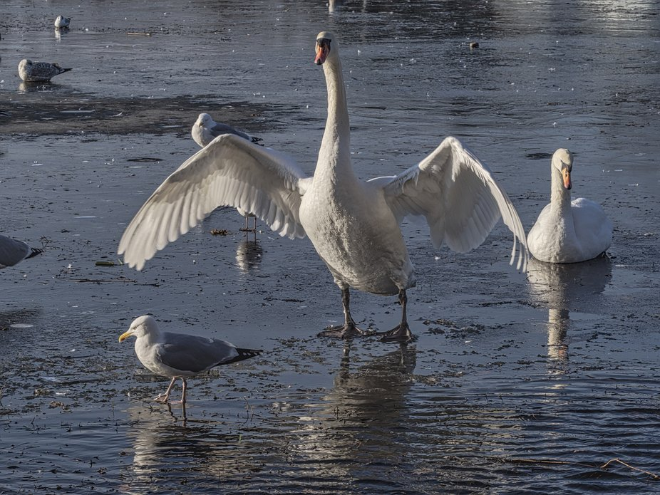 After a period of grooming, this Swan rises to it full height to extend its wings.