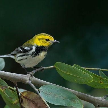 Black-throated Green Warbler DSC02644