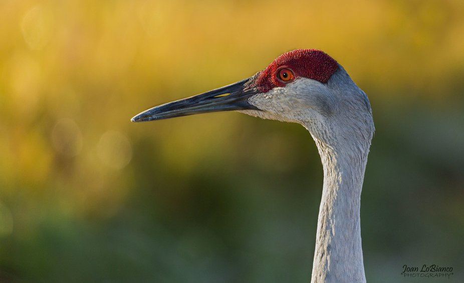 while pn a photo shoot at a natural preserve this sand hill crane walked within 5 feet of us alon...