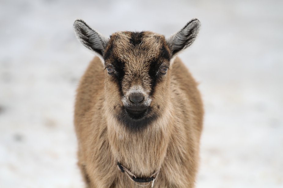 Baby Nigerian Pygmy Goat in the snow