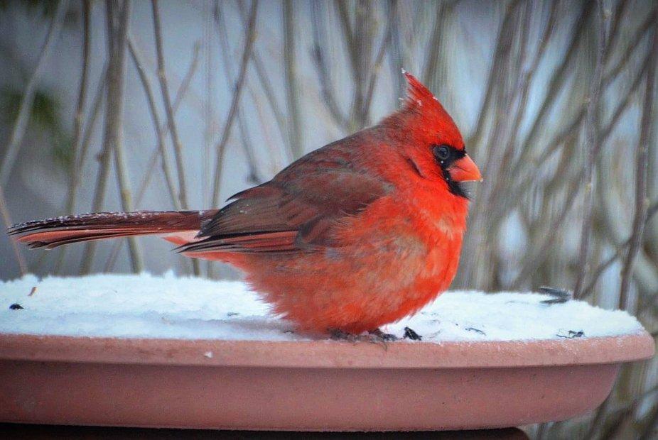 Mr.cardinal