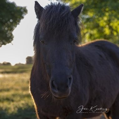 Beautiful Shetland pony