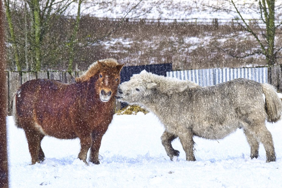 Two retired pit pony's playing in the snow at Beamish living museum.