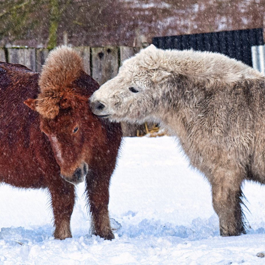 Retired Pit Pony's enjoying the snow.