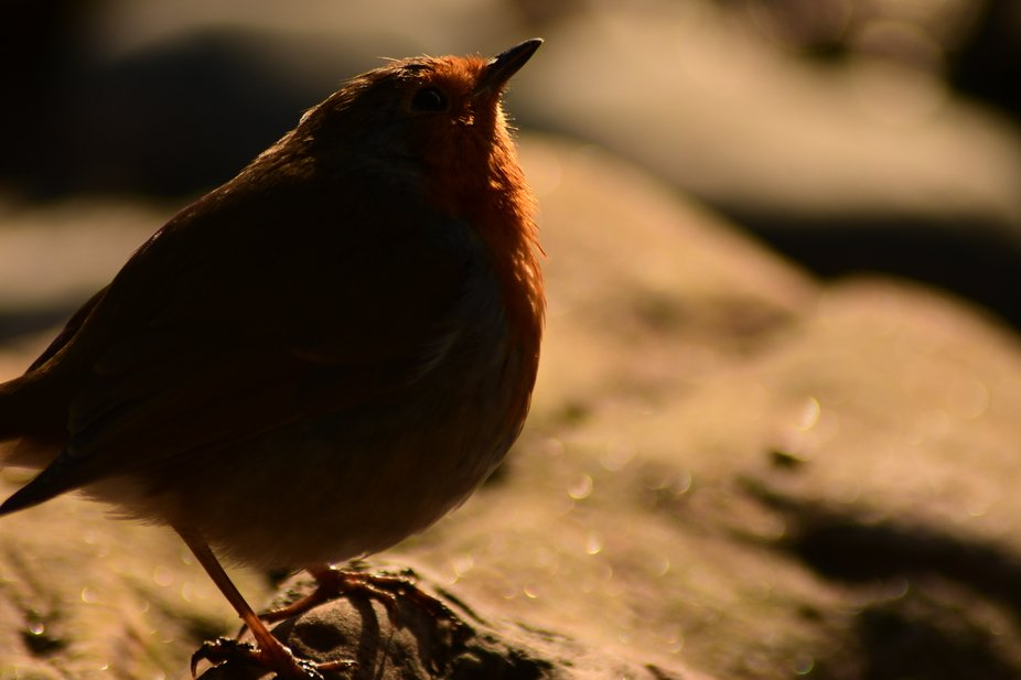 As you can see this is a robin . I took this picture when I was walking on a beach in Scotland . ...