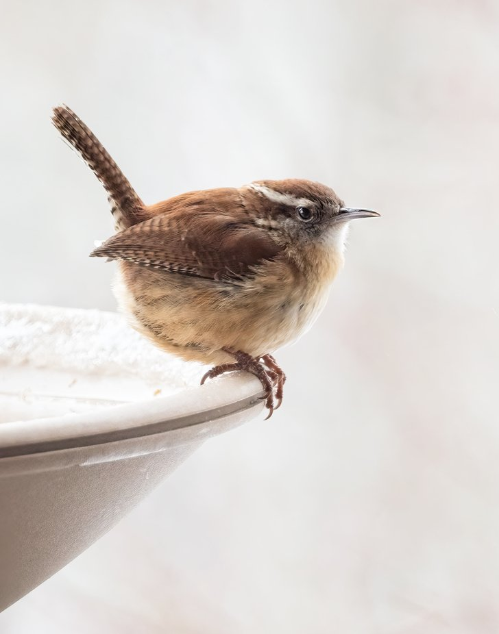 Cold Little Wren (Can I invite him in?)