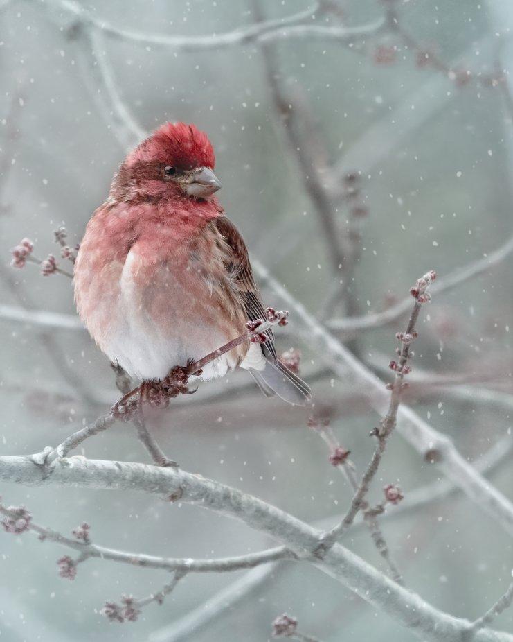 Purple Finch on a Snowy Day