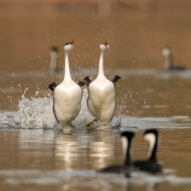 The rushing Western Grebes appeared to head toward a collision course as the other two looked head on...