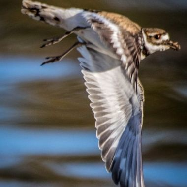 20210216-Killdeer