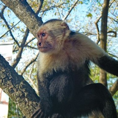 Lonely Capuchin