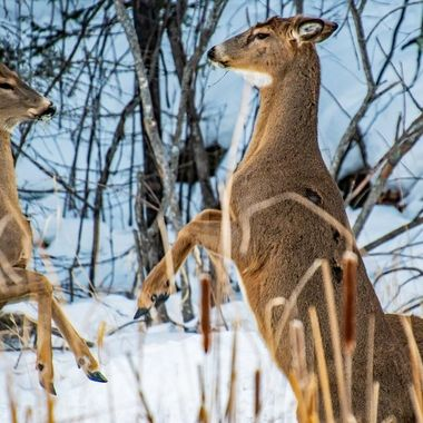 Whitetail does fighting for a show of dominance
