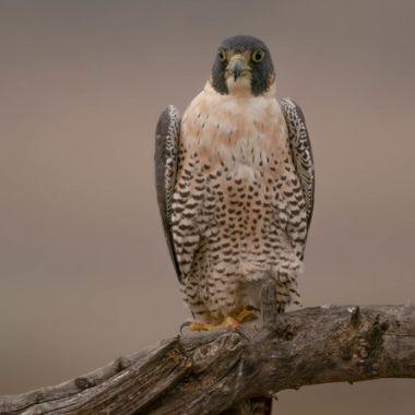 Peregrine Falcon DSC04584