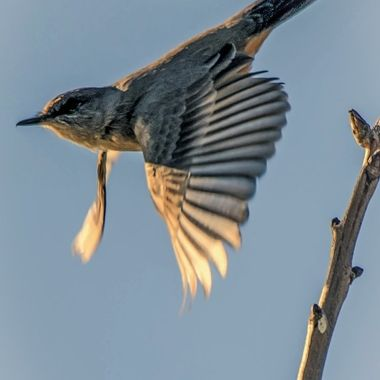 Mockingbird in a dive