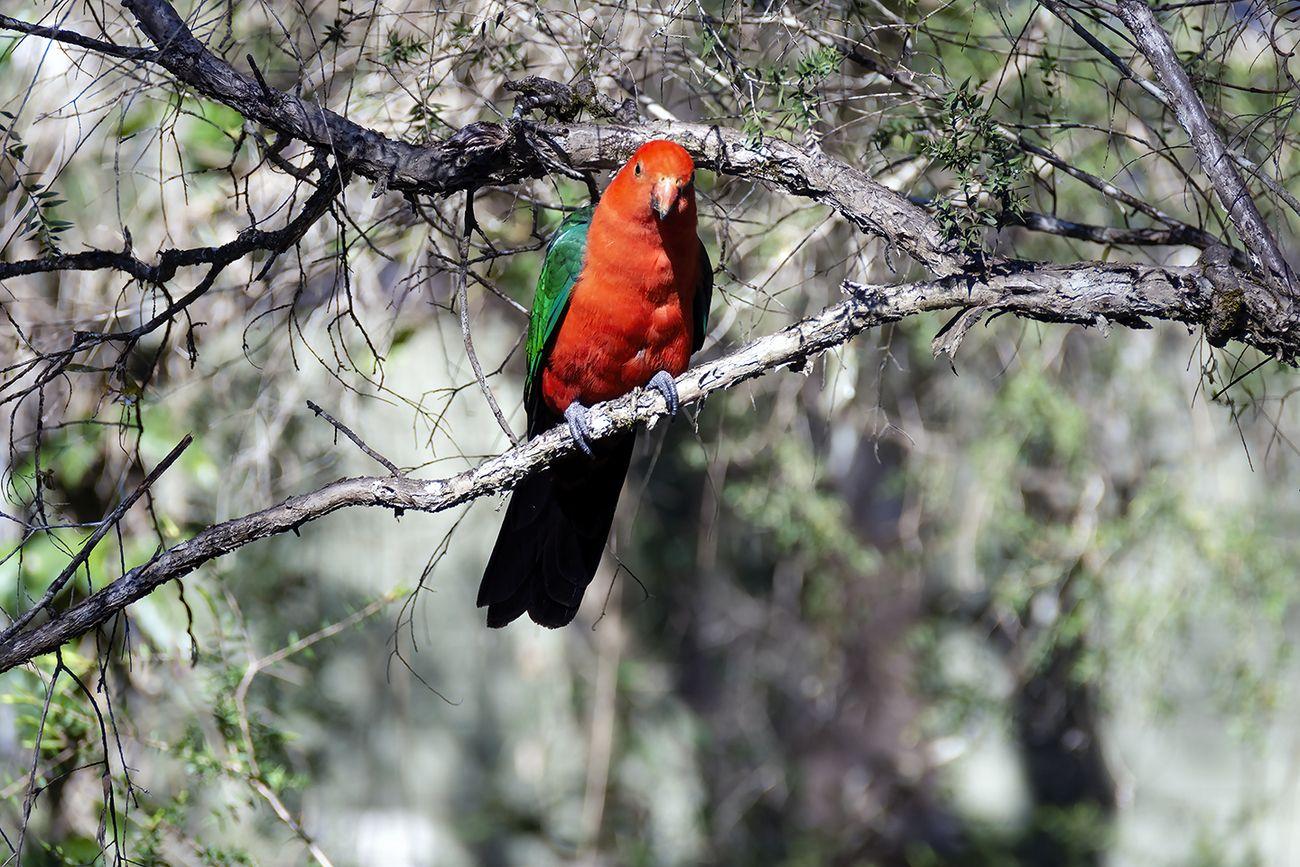 Australian King Parrot (2)