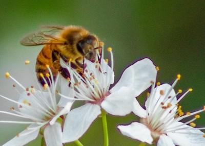 Winter Cherry Blossom & Bee