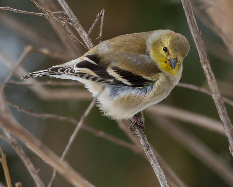 American Goldfinch_Rowlett TX_DFT8483