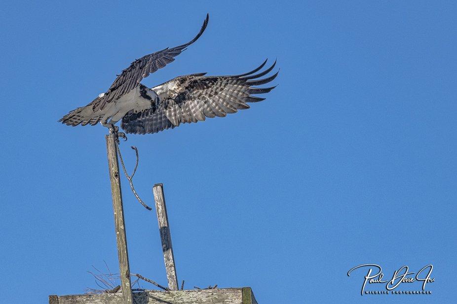 DI Osprey_3721