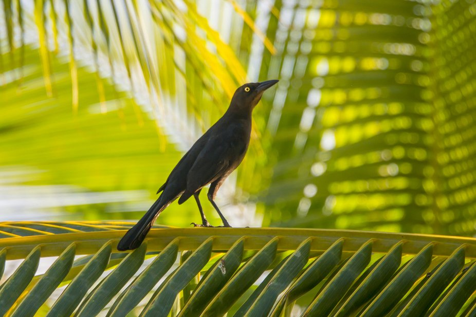 Great-Tailed Grackle chillin out.
