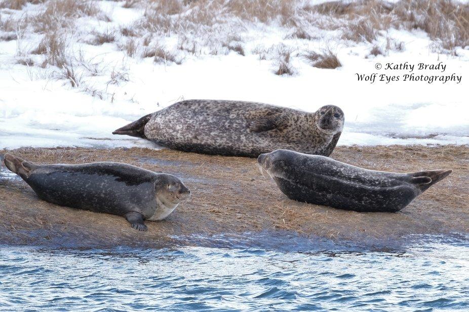 Harbor Seals sunning off Long Island south shore coast