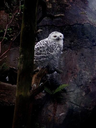 Alp owl
