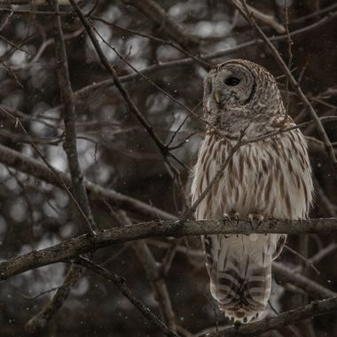 Chouette rayée / Barred owl 22-02-21-1