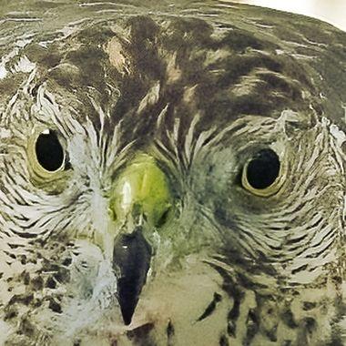 Juvenile Cooper's hawk  DSC_1924-DeNoiseAI-denoise