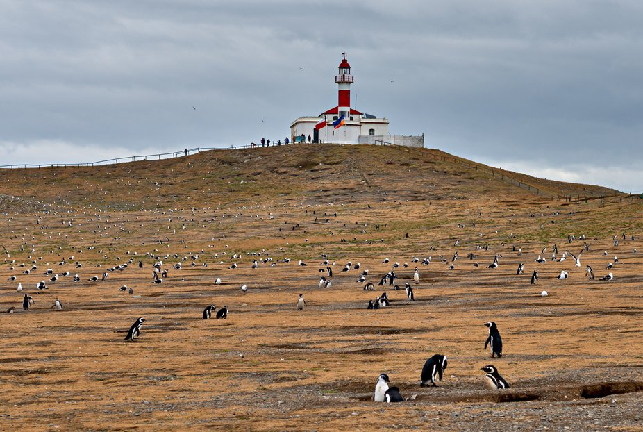 Magellenic penguins and birds live together on Magdelina Island near Punta Arenas, South America.
