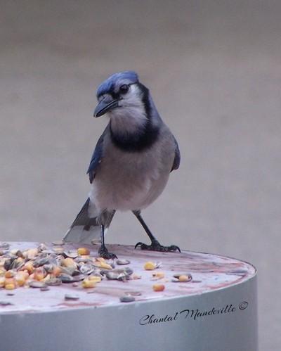 Wondering Blue Jay