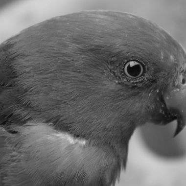 King Parrot in black and white, something different