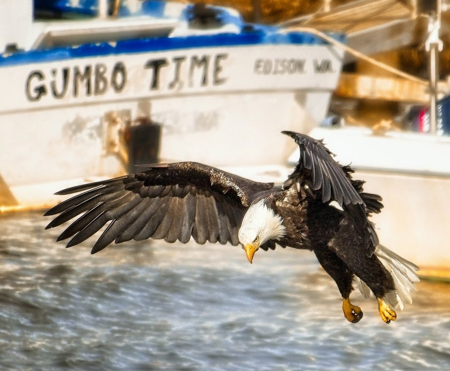 A Bald Eagle lands on the shoreline near the fishing boats.