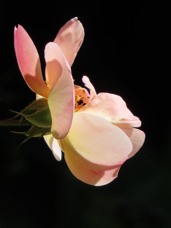 Apricot rose blooming in the sunlight. Manawatu Summer garden, New Zealand.