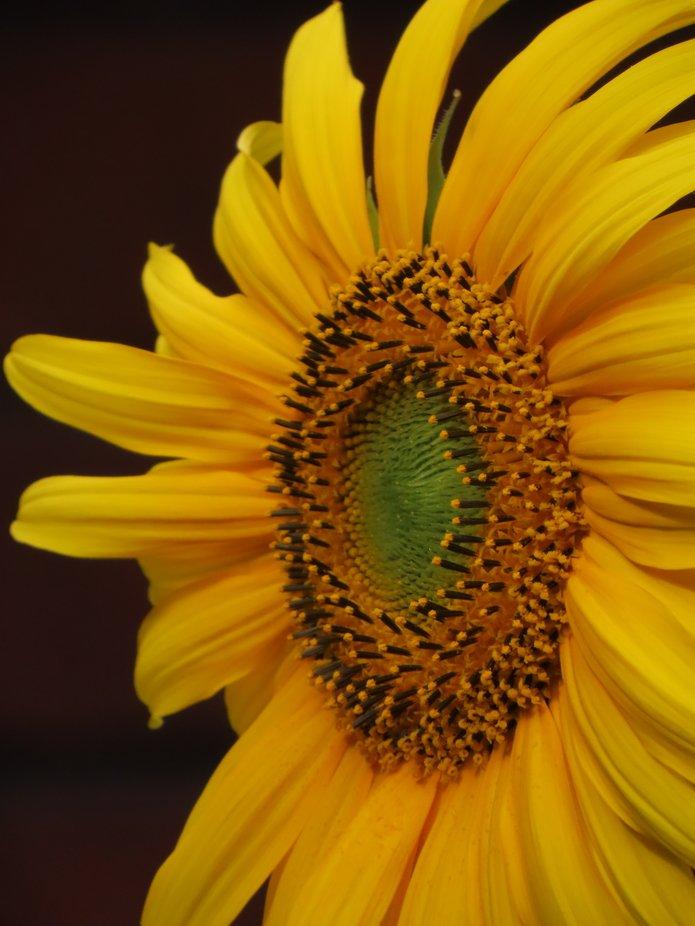 Beautiful yellow sunflower blooming in a Manawatu Summer garden, New Zealand.