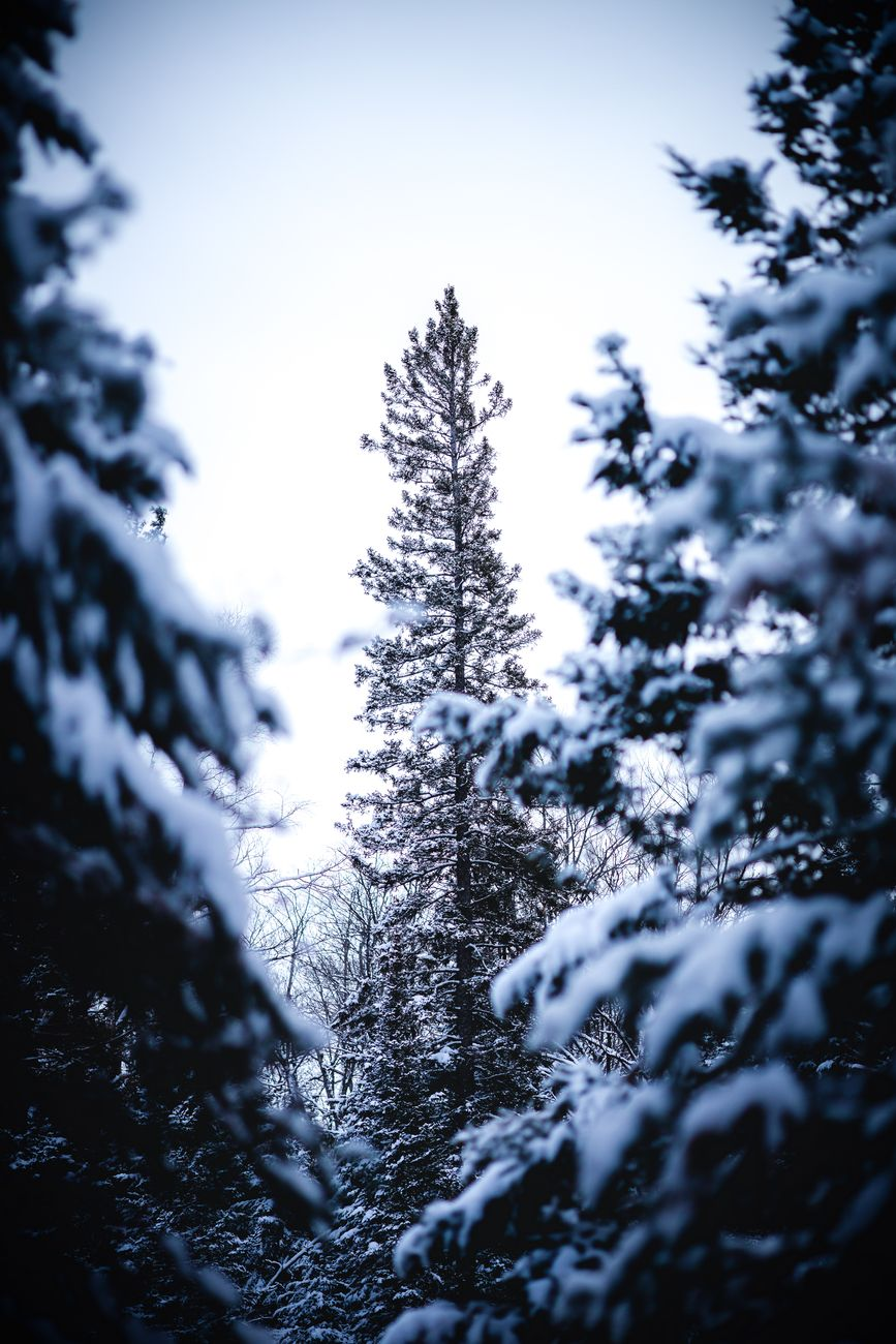 A lone fir stands alone in a clearing within the boreal forest of Ontario, Canada