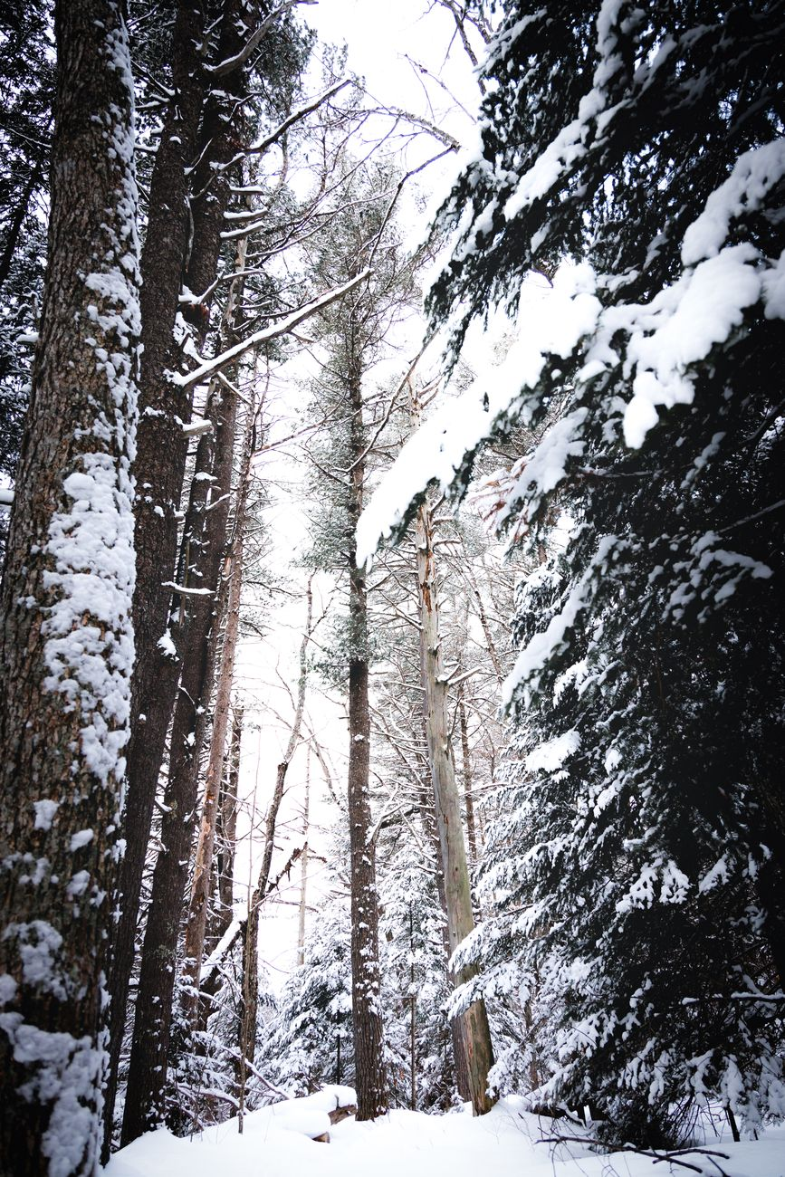 Large White pines tower over head in the snow covered forest of Ontario, Canada.