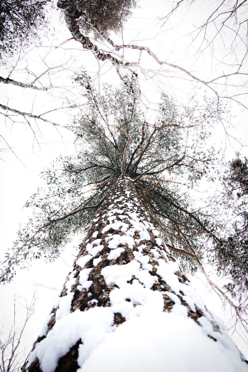 Tall white pine in the boreal forest of Ontario Canada