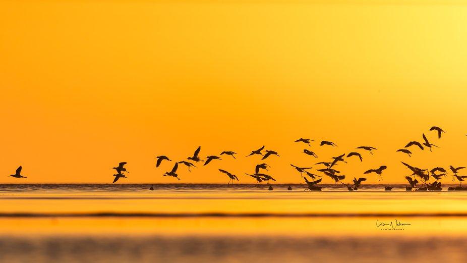 American Avocets landing on a sandbar off the Texas Coast (Bolivar Flats Audubon Shorebird Sanctu...