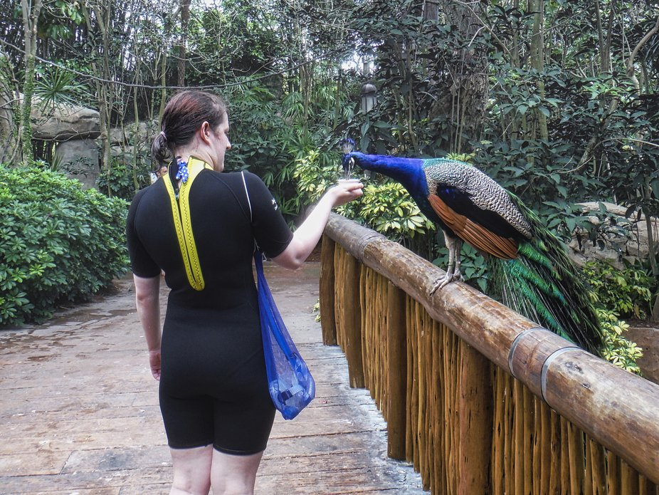 Feeding a Peacock at Discovery cove.