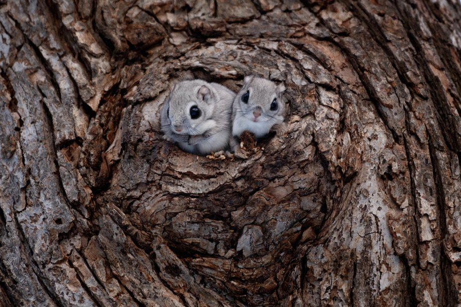 Siberian flying squirrels with their beautiful silver coat in winter.