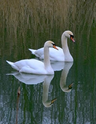 IMG_1143-swans
