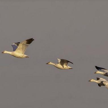 Snow Geese DSC07962