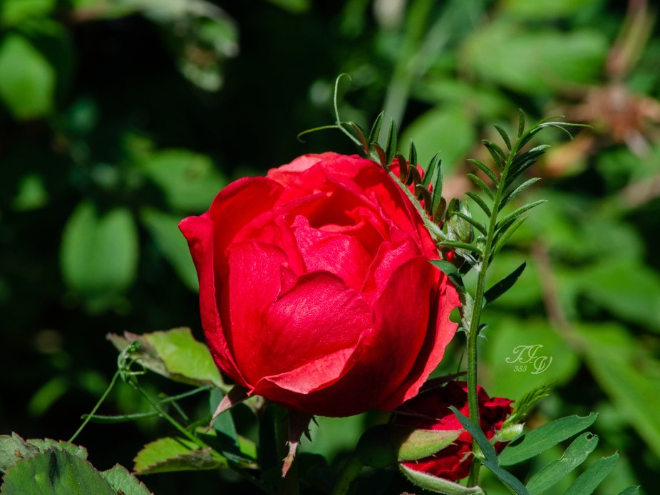 """This beautiful image of a rose blossom with its companion """"bud"""" was developed f..."""